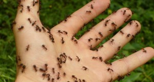 Pharaoh Ants: Eliminating These and Other Ants Easily